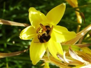 Humel-in-gleber-Blume